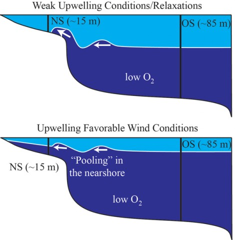 An illustration showing how offshore (OS) upwelling affects the infiltration of ­low-­oxygen water into the nearshore (NS) environment. Ryan Walter