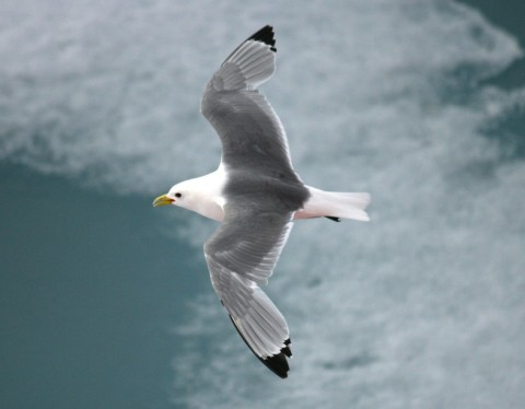 A black-winged kittiwake flying over the ice. Credit: Sarah Wong