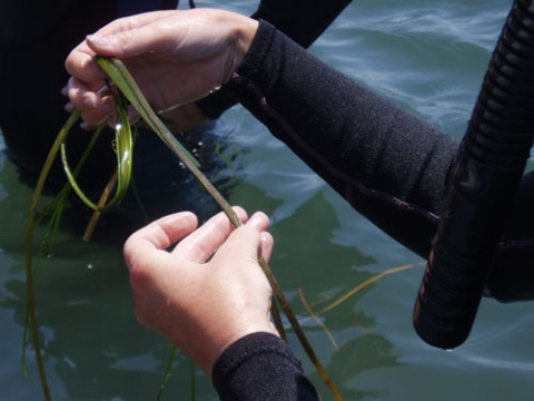 Teachers investigate the ecology of the submersed plant, Zostera marina, in a Virginia coastal lagoon. Credit: Laura Murray