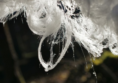 Close-up photo of melting hair ice, showing tiny water droplets on the ice filaments. Credit: Hofmann et al., Biogeosciences, 2015  CC BY-NC-SA 4.0