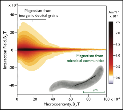 """Visualization of the first-order reversal curve distribution for a marine sediment sample collected from the western margin of the Iberian Peninsula. Magnetic grains derived from detrital processes, such as erosion and transport, have lower coercivities with higher magnetic interactions than magnetic grains produced by microbial organisms (such as the gray image of the magnetotactic bacterium that represents the data at the bottom right of the graph). Such mixtures can be analytically """"unmixed"""" to track various inputs to sedimentary systems. Credit: R.B. Frankel (magnetotactic bacteria), Joy Murasko and Richard J. Harrison (FORC data)."""