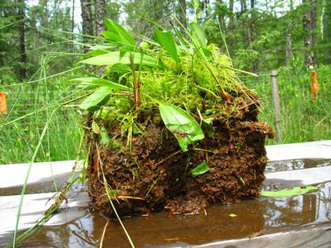 Peat is normally saturated andanoxic, but drought conditions can dry and oxidize it, releasing sulfate and driving mercury methylation when the peat is rewetted. Credit: J. K. Coleman Wasik, CC BY-NC