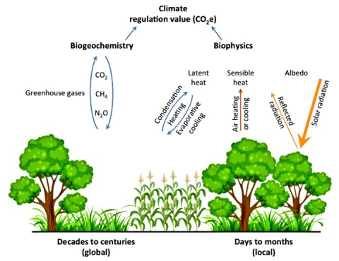 Fig. 1. Terrestrial ecosystems affect the climate system by influencing the exchange of greenhouse gases between the land surface and the atmosphere (biogeochemical regulation) and by influencing the exchange of energy (evapotranspiration and albedo) with the atmosphere (biophysical regulation). Biogeochemical processes affect the concentration of greenhouse gases in the atmosphere, influencing global climate on decadal time scales or longer, whereas biophysical processes cause local cooling or warming over days and months. Credit: Evan DeLucia