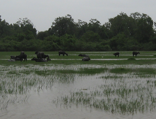 Buffalo graze and rest in a wetland in tropical Amapá state in Brazil. Some scientists attribute a mysterious renewed rise in atmospheric methane, a greenhouse gas, since 2007 to shifting climate patterns that increased tropical rainfall. Credit: Dr. Luciana Vanni Gatti, CCST/INPE, Brazil
