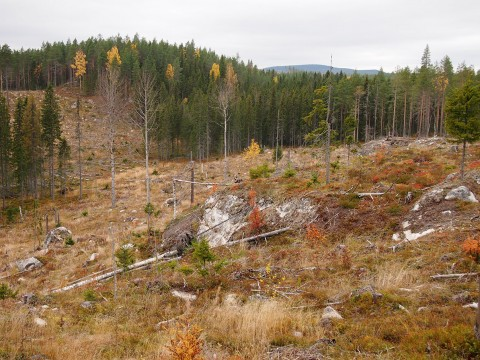 A clear-cut site near the town of Balsjö in northern Sweden. Increased dissolved organic carbon in boreal forest streams due to forest harvesting could also disrupt downstream ecosystems. Credit: Martyn Futter