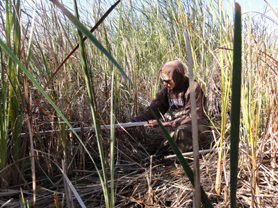 Measuring the fraction of photosynthetically active radiation absorbed by green vegetation at the restored wetland on Twitchell Island, Calif., November 2011.
