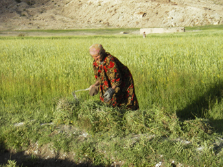 Warming temperatures are disrupting the agricultural routines and timing of villagers in the Pamir. Credit: Karim-Aly Kassam