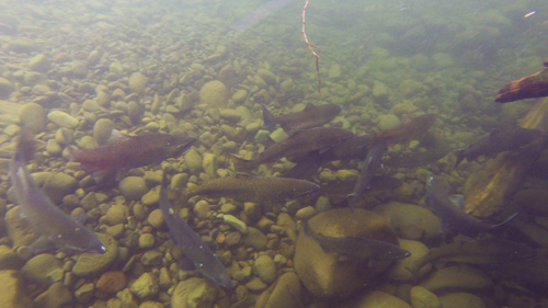 Fish swim in silty waters of Oregon's Salmon River.