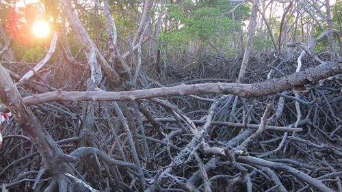 A close-up of mangrove branches and roots at Missionary Bay at Hinchinbrook Island, Australia.