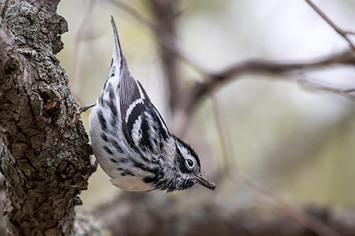 Black-and-white warbler (<em>Mniotilta varia</em>)