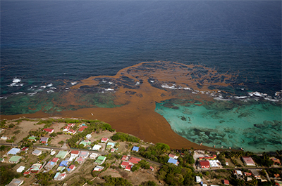 Sargassum beaching on La Désirade east of Guadaloupe in the Caribbean.