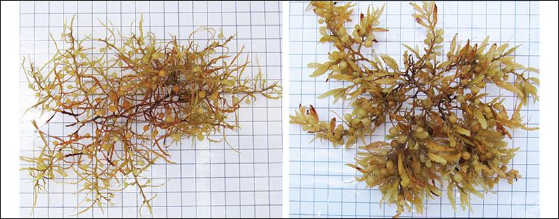 Sargassum natans and Sargassum fluitans