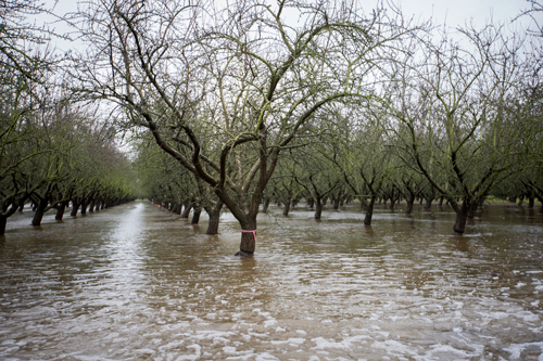 Flooding orchards in the rain may help to recharge groundwater.