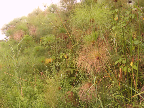 Researchers work to pinpoint possible sources of atmospheric methane, including papyrus swamps