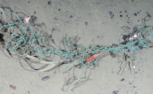 A shrimp and other marine life share a patch of Arctic seafloor with fishing gear and plastic strips.