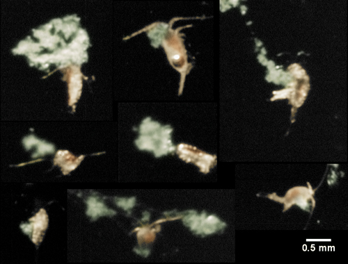 Small crustaceans called copepods interact with marine snow in this image captured by the video plankton recorder in the Baltic Sea.