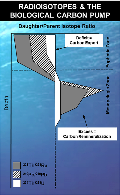 Radioisotopes can be used to investigate rates of carbon export and remineralization in the biological carbon pump