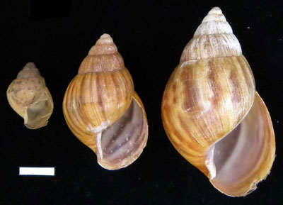 Giant African snail shells ordered by size