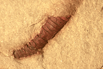 Fossil of a tiny Ediacaran worm