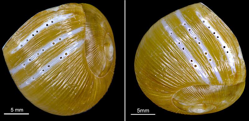 Zachrysia provisoria snail shell with drill holes