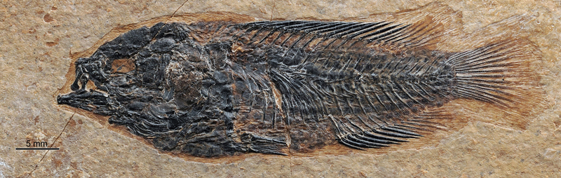 Fossil of climbing perch