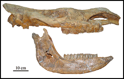 Fossil skull and mandible of Tibetan woolly rhinoceros