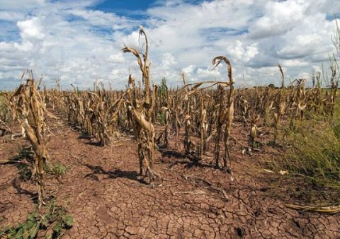 Field of wilted corn during drought in Texas