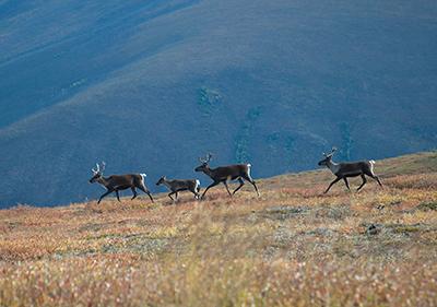 Caribou on Alaska plain