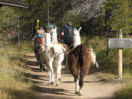 A llama train transports gear into a field site in the upper Colorado River valley, Rocky Mountain National Park