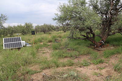 mesquite trees in Arizona use hydraulic redistribution to move water in the soil