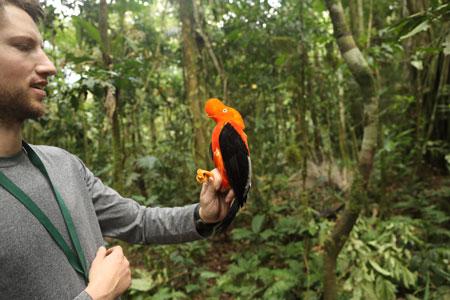 Ben Freeman holds an Andean Cock-of-the-rock bird on Pantiacolla Ridge in Peru