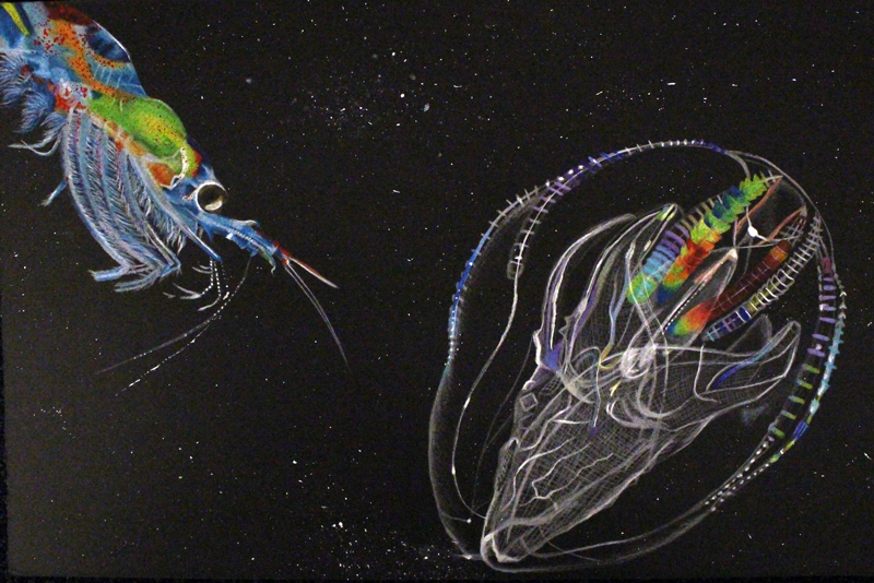 Krill and Beroe's Comb Jelly. Credit: Linda Palominos