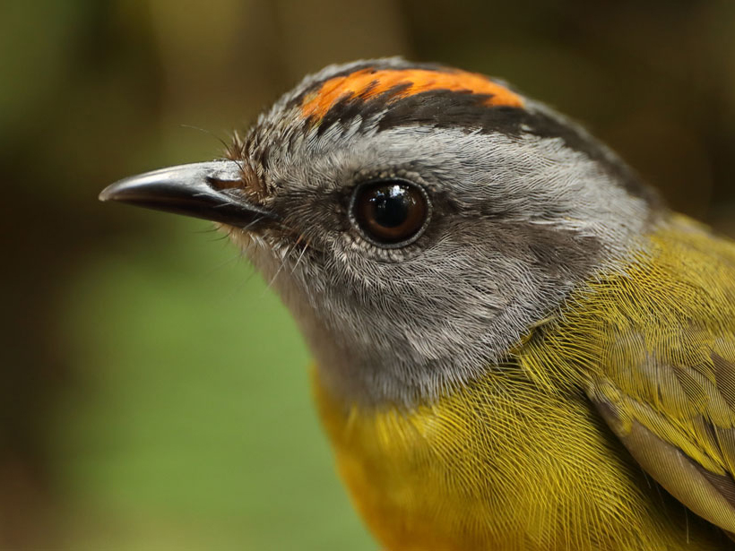 "Peruvian Mountain Birds Take an ""Escalator to Extinction"""