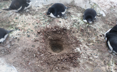 Excavation conducted at an Adélie penguin colony on Beagle Island, Danger Islands, Antarctica.