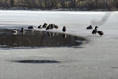 Ducks enjoy a dip in a frosty Minnesota puddle during a relatively unusual warm spell in February 2017