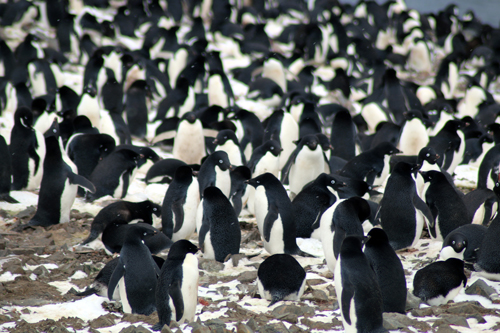 Nesting Adélie penguins on the Danger Islands, Antarctica.