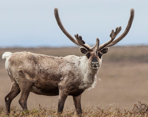 A Teshekpuk caribou in the National Petroleum Reserve, Alaska.