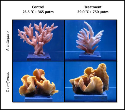 coral fragments climate change research
