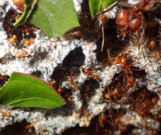 Leaf-cutter ants tend to the fungus they feed on.