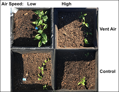 Spinach rooftop garden experiment