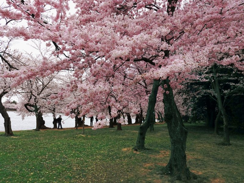 Cherry Blossoms' Peak Bloom Is an Indicator of Climate Change