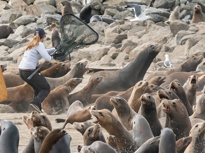 Oceanographer Julia O'Hern responding to a sea lion entanglement issue in 2018