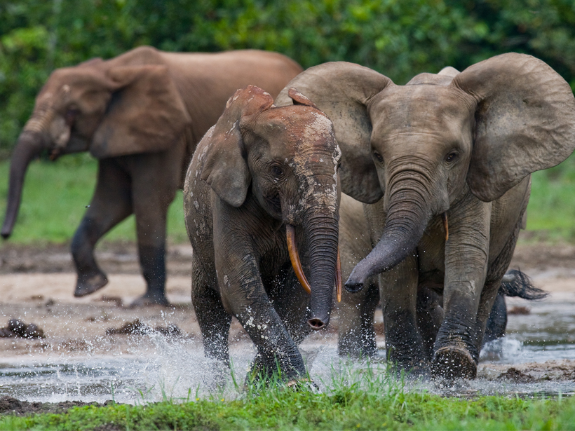 Elephants Boost Carbon Storage in Rain Forests