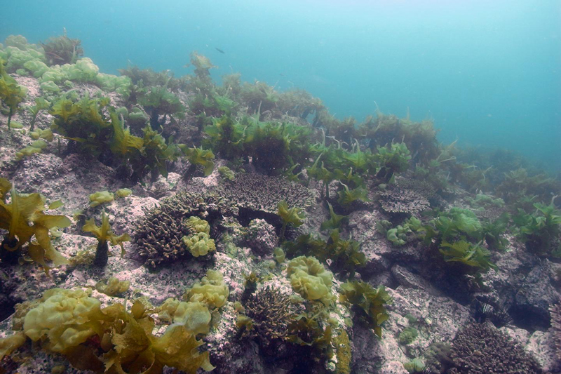 Corals and seaweed growing in the same location