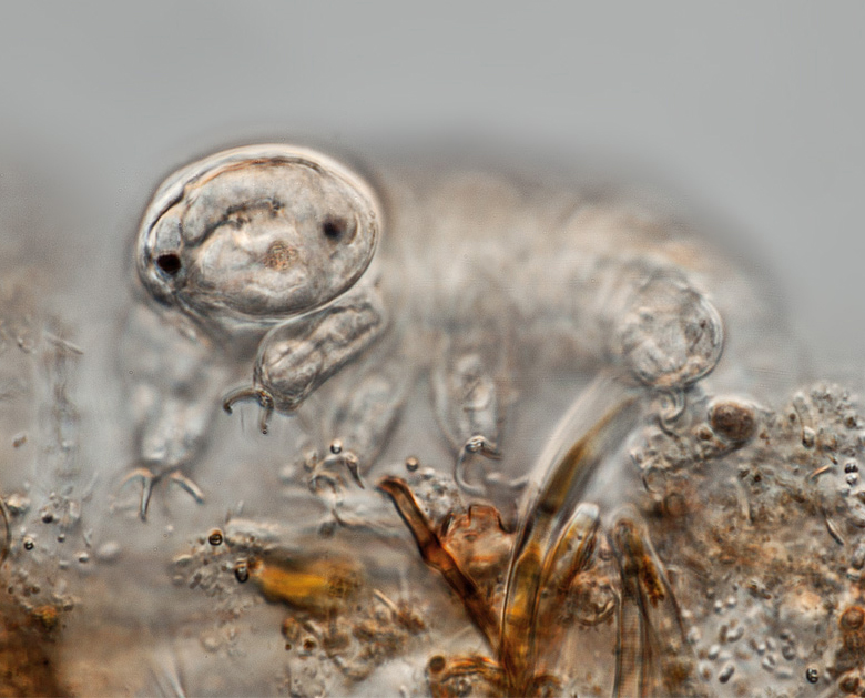 Microscopic image of a tardigrade