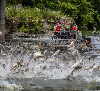 Many fish jumping in a river