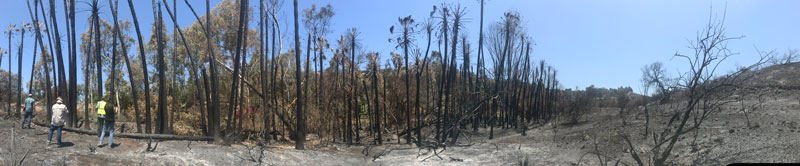 Panoramic photo of burned palm trees