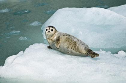 An adorable harbor seal on an ice floe