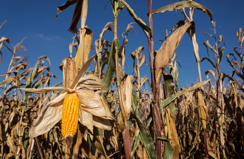 Stalks of corn beneath a blue sky