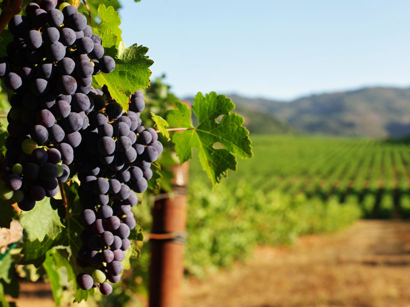 Wine Grape Diversity Buffers Climate Change–Induced Losses - Eos